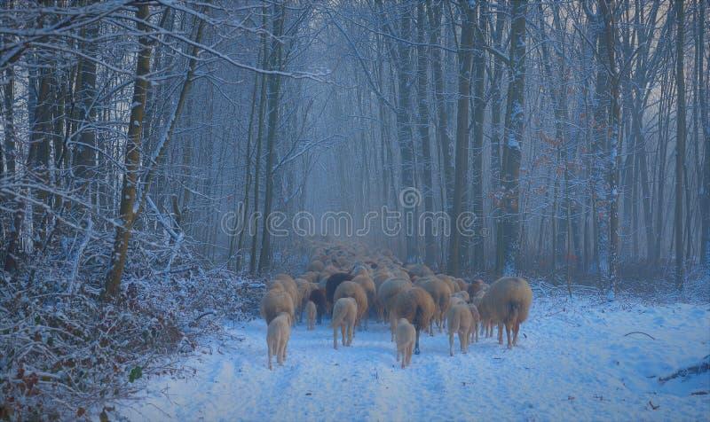 Moltitudine di trogh di camminata delle pecore il legno immagini stock