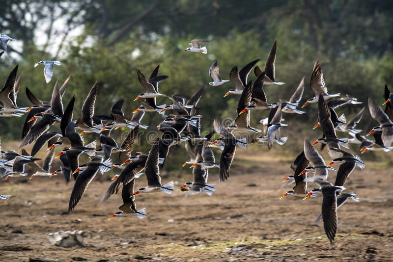Moltitudine di uccelli in Africa immagini stock