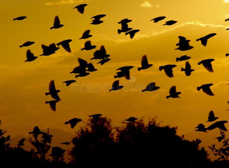 Moltitudine di uccelli che volano attraverso il tramonto fotografie stock