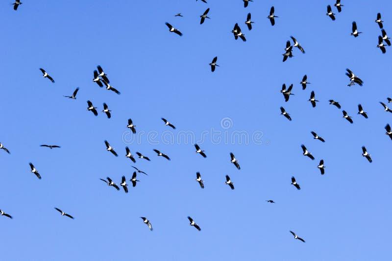 Moltitudine di uccelli nel cielo blu immagine stock libera da diritti