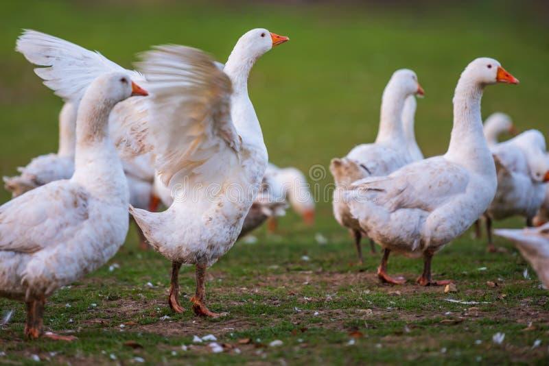Moltitudine di uccelli oche davanti al fondo verde della natura immagine stock