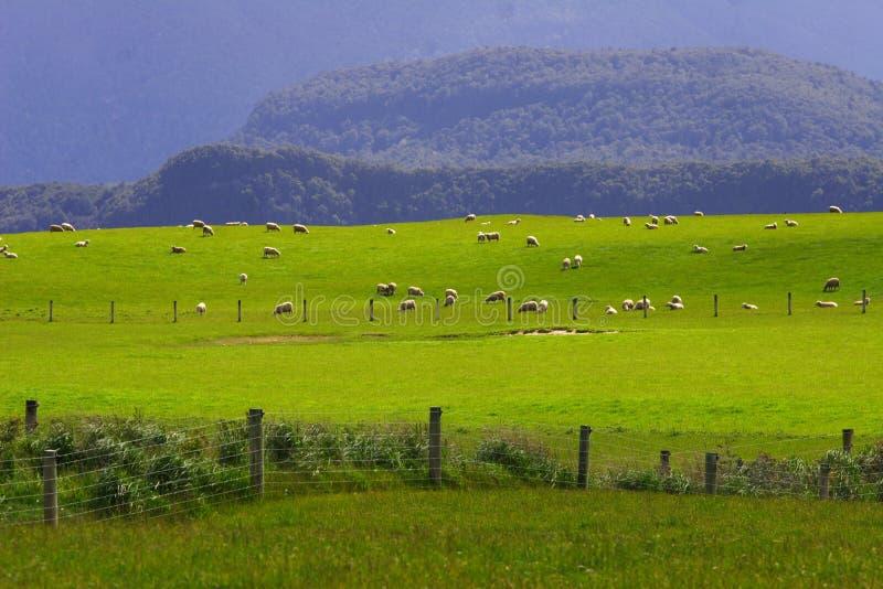 Moltitudine Nuova Zelanda delle pecore immagine stock libera da diritti