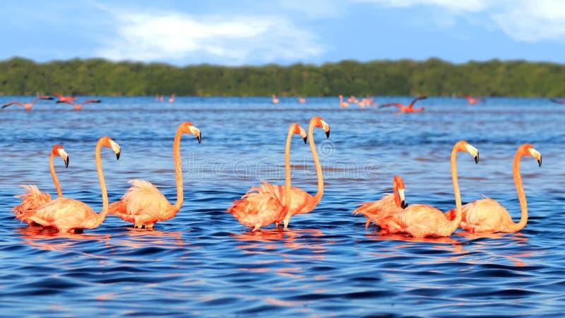Moltitudini di bei fenicotteri rosa nel parco nazionale di Celestun mexico yucatan immagine stock libera da diritti