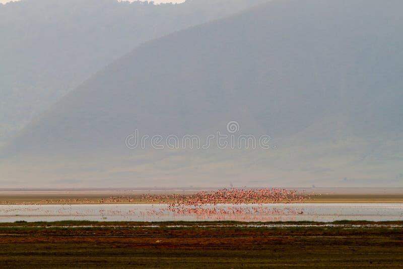 Moltitudini di fenicotteri minori in cratere di Ngorongoro, Tanzania fotografia stock