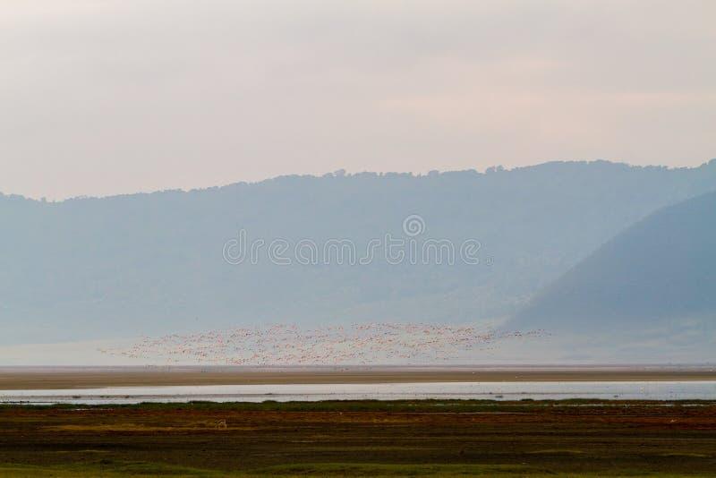 Moltitudini di fenicotteri minori in cratere di Ngorongoro, Tanzania fotografia stock libera da diritti