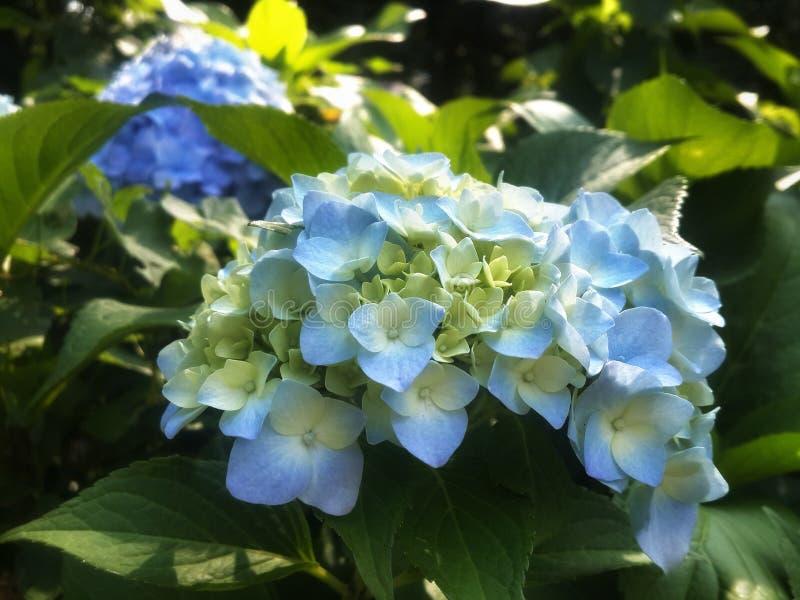 Molto blu fiorisce l'ortensia in giardino verde fotografia stock libera da diritti