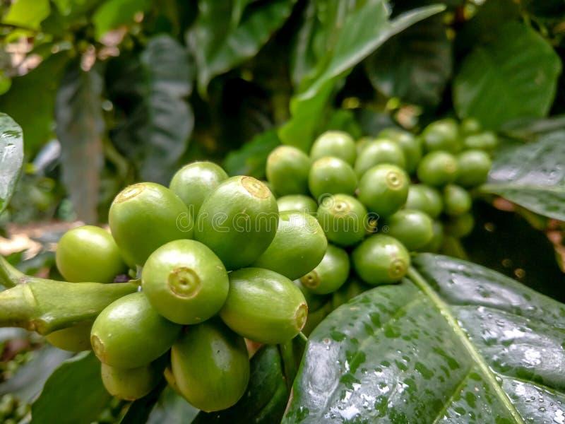 Molto caffè fresco sulla pianta con le foglie verdi fotografie stock