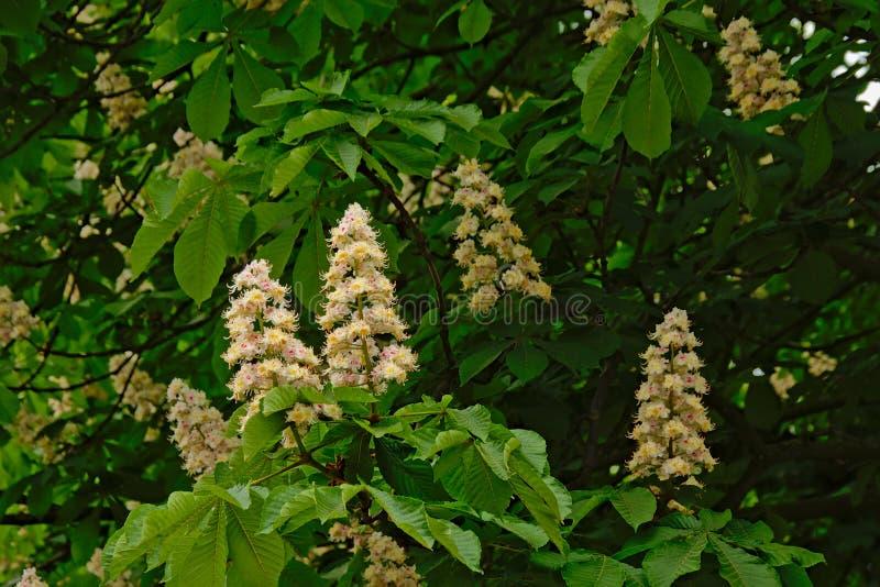Molto castagna del cavallo bianco fiorisce e copre di foglie - aesculus hippocastanum immagini stock libere da diritti