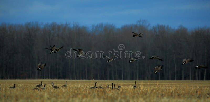 Molto il Canada Gooses in un campo di grano fotografia stock libera da diritti