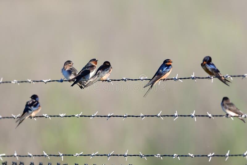 Molto uccelli sul cavo immagini stock