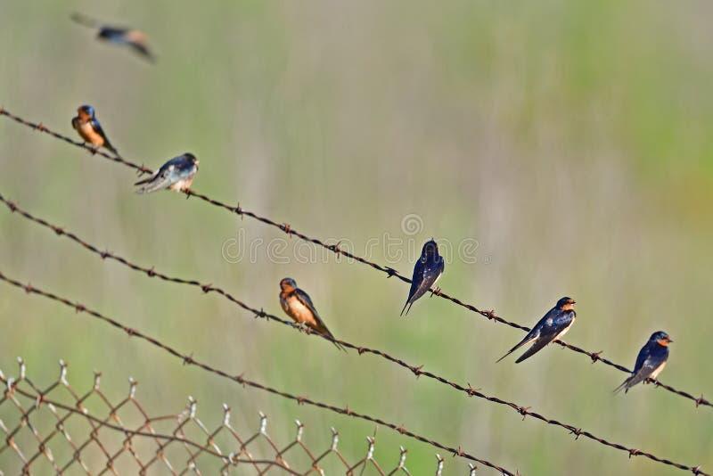 Molto uccelli sul cavo fotografia stock libera da diritti