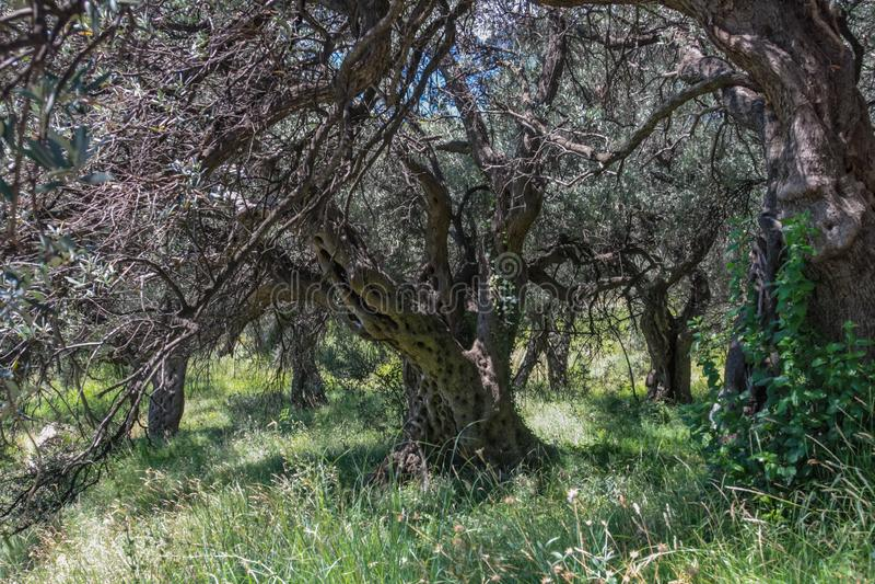 Molto vecchio di olivo nel boschetto immagini stock