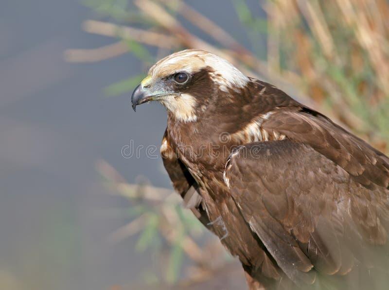 Molto vicino su e ritratto dettagliato del falco di palude femminile immagini stock