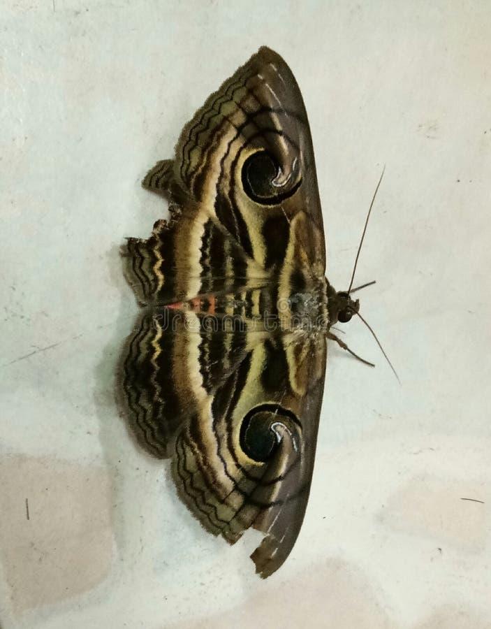 molu motyla resztę nocy obraz stock