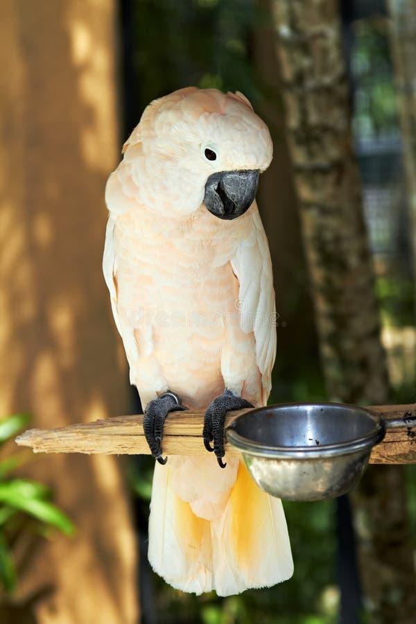Moluccan σολομός-λοφιοφόρο Cockatoo στη φύση στοκ εικόνα