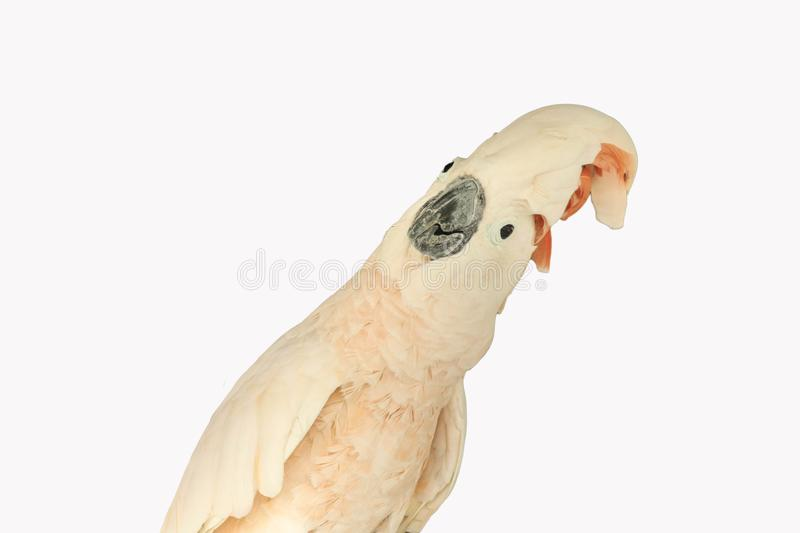 Moluccan cockatoo isolated royalty free stock images