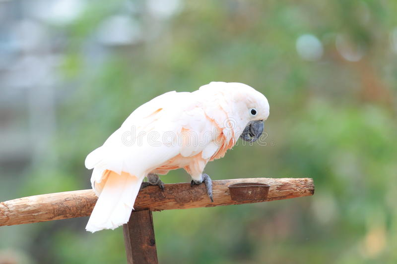 Moluccan cockatoo royalty free stock image