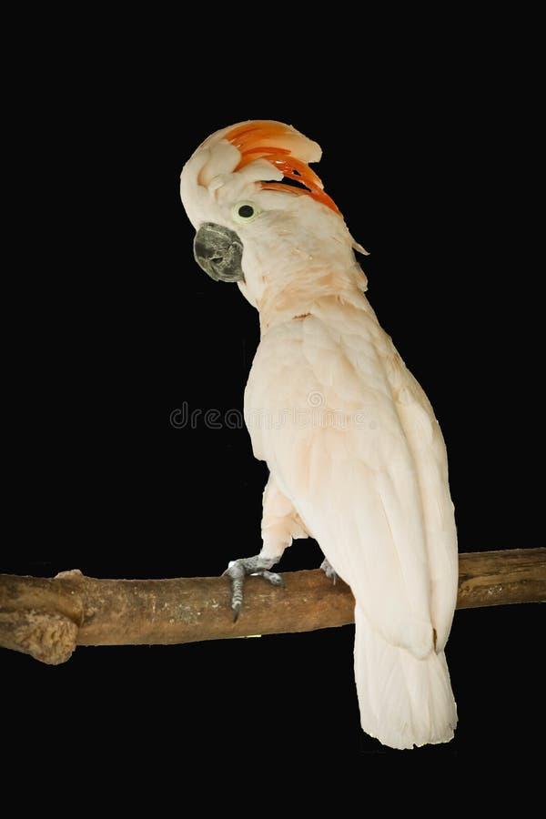Moluccan geïsoleerde kaketoe royalty-vrije stock foto's