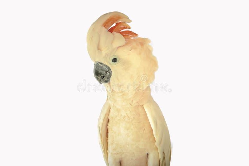 Moluccan kakadu odizolowywający zdjęcia royalty free