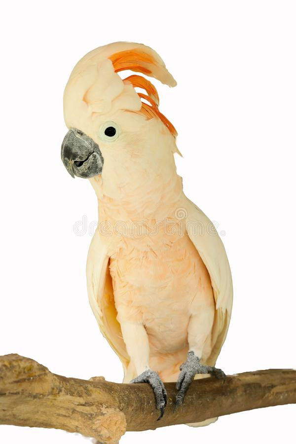 Moluccan kakadu odizolowywający obrazy stock