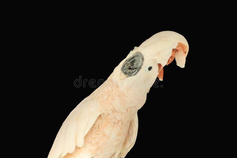 Moluccan kakadu odizolowywający zdjęcie royalty free