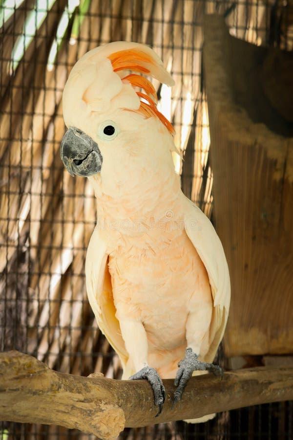 Moluccan kakadu w klatce zdjęcia royalty free