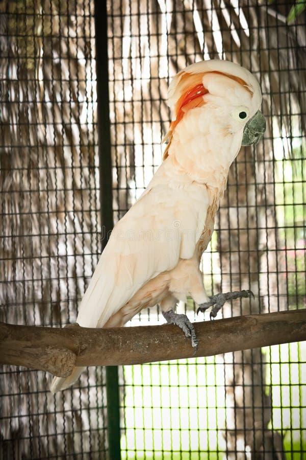 Moluccan kakadu w klatce fotografia stock