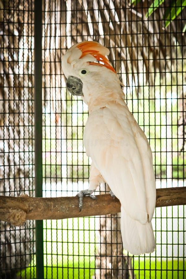 Moluccan kakadu w klatce zdjęcia stock