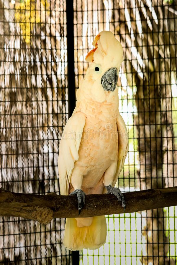 Moluccan kakadu w klatce zdjęcie royalty free