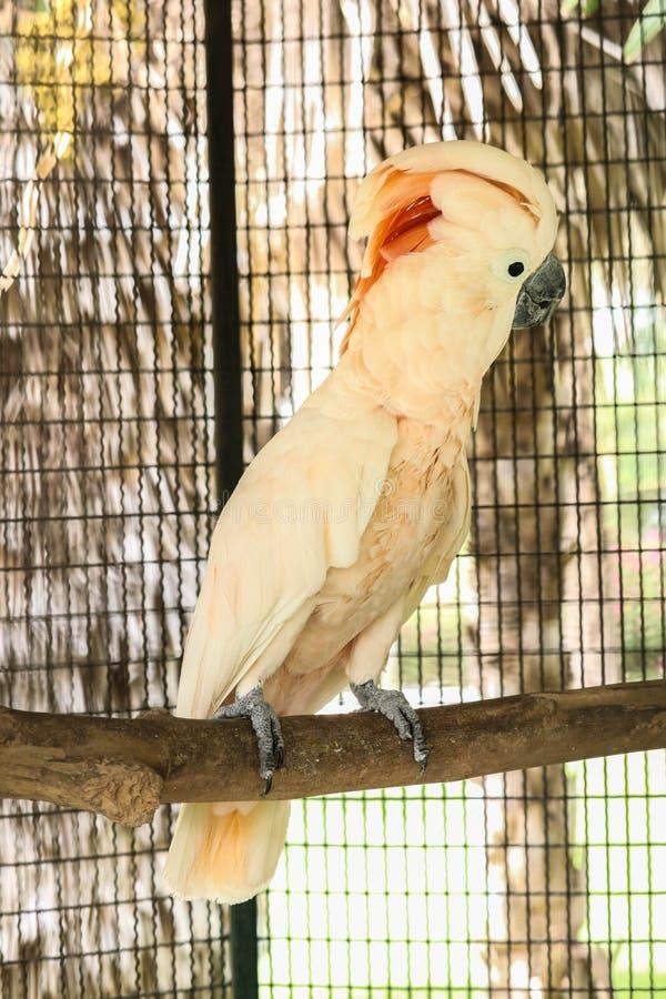 Moluccan kakadu w klatce fotografia royalty free