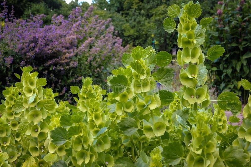 Bells of Ireland plant royalty free stock photo