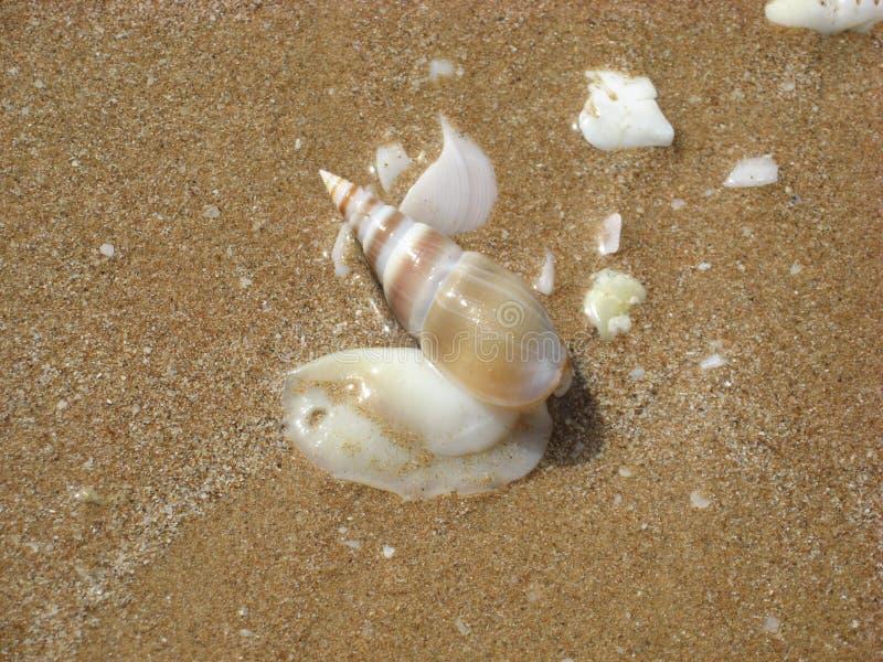 Molusco Terebra del mar foto de archivo libre de regalías