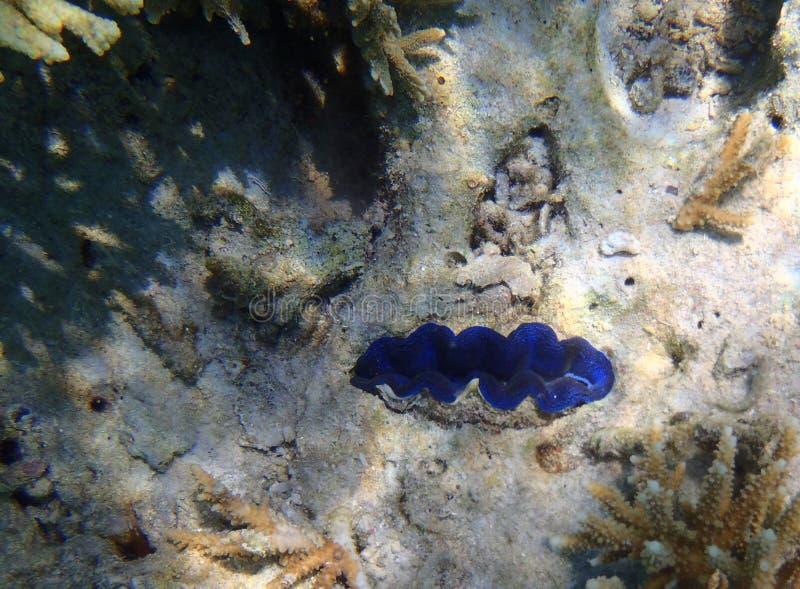 Moluscos azuis do Tridacna foto de stock