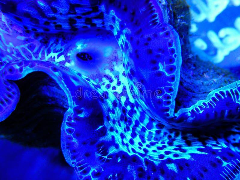 Moluscos azuis dos máximos debaixo d'água fotos de stock royalty free