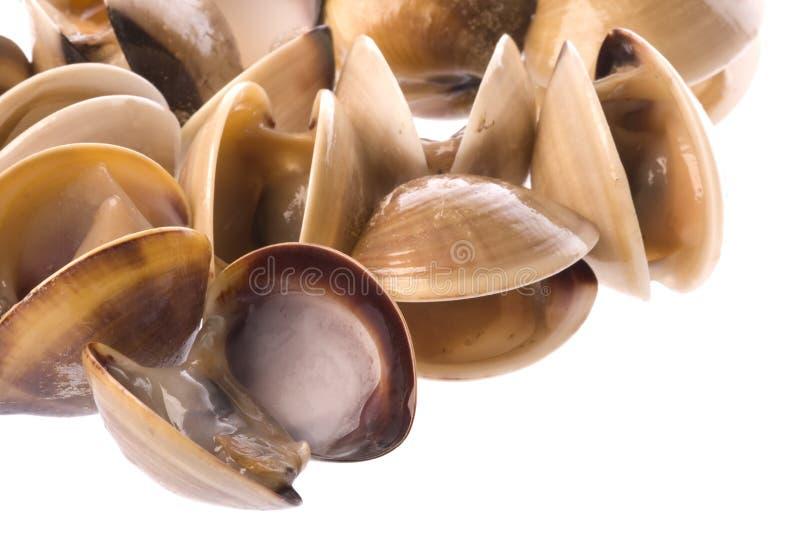 Moluscos comestíveis vivos isolados fotografia de stock