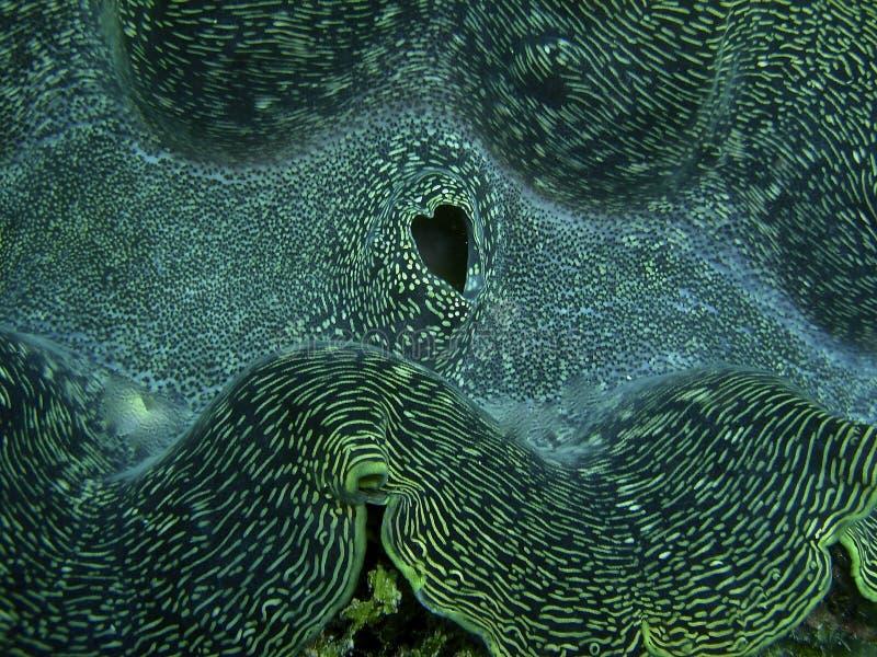 Moluscos gigantes com coração incomum a válvula dada forma imagem de stock