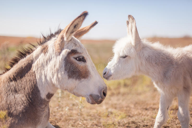 Mom and baby donkey. A horizontal image of a newborn miniature donkey with its mother stock photography