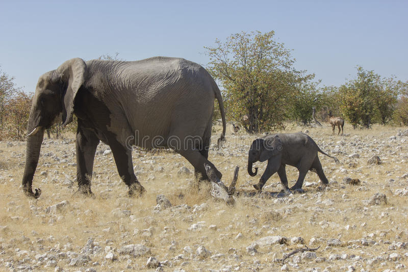 Mom and baby elephant, Namibia royalty free stock photo