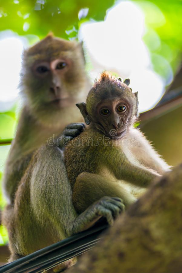Mom and baby monkey in the wild royalty free stock photography