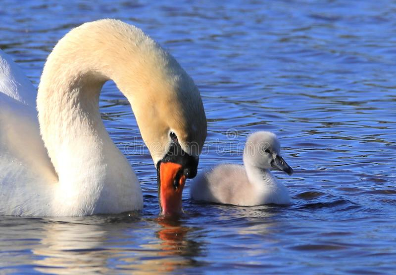 Swan full of admiration for her baby stock images