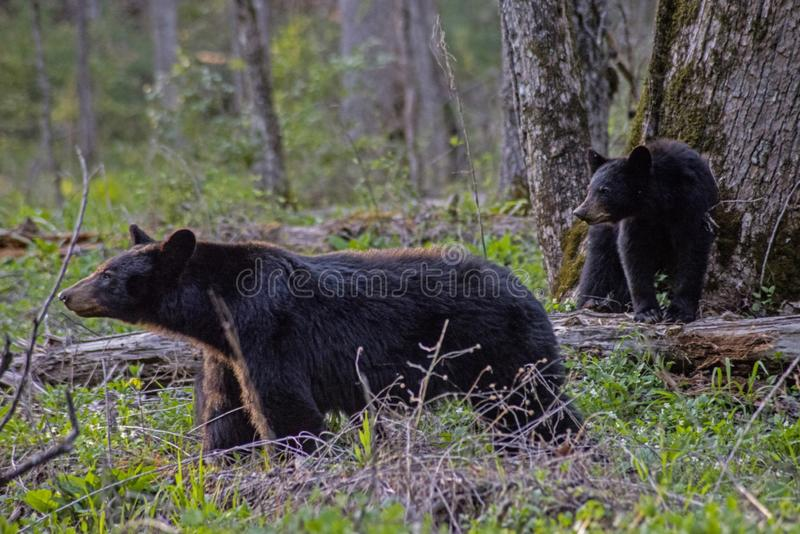 Mom Black Bear and baby in Cades Cove, part of the Smokies. stock images