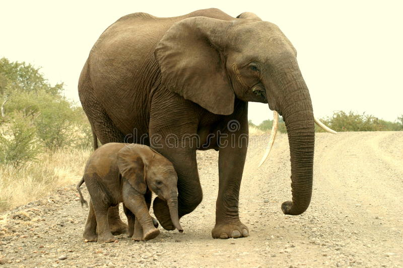 Mom and calf royalty free stock images