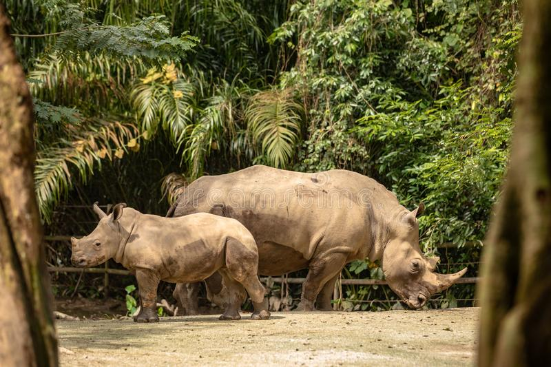 Mother and calf of White rhino or square-lipped rhinoceros, Ceratotherium simum. Mom and calf of white rhino in Singapore zoo. The white rhino or square-lipped royalty free stock images