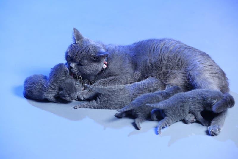 Cat feeding her new born kittens, blue background. Mom Cat feeding her new born kittens, blue background royalty free stock photo