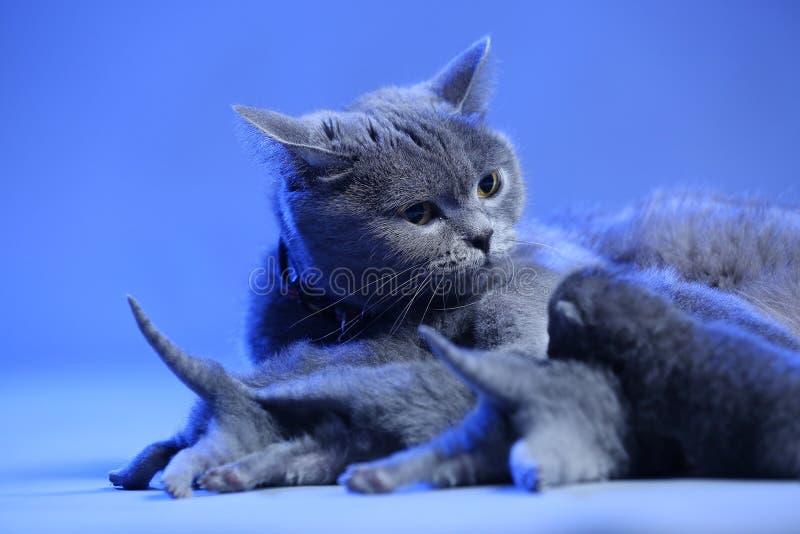 Cat feeding her new born kittens, blue background. Mom Cat feeding her new born kittens, blue background stock images