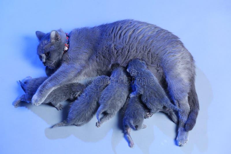 Cat feeding her new born kittens, blue background. Mom Cat feeding her new born kittens, blue background stock photo