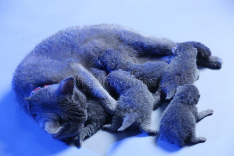 Cat feeding her new born kittens, blue background. Mom Cat feeding her new born kittens, blue background stock photography