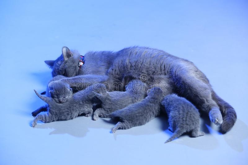 Cat feeding her new born kittens, blue background. Mom Cat feeding her new born kittens, blue background royalty free stock photography