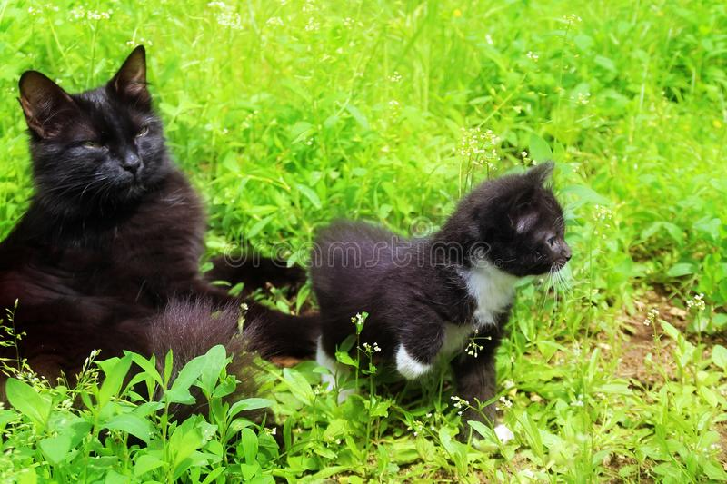 Mom cat with a kitten in the grass. Kitten the first time came out of the house alone royalty free stock images