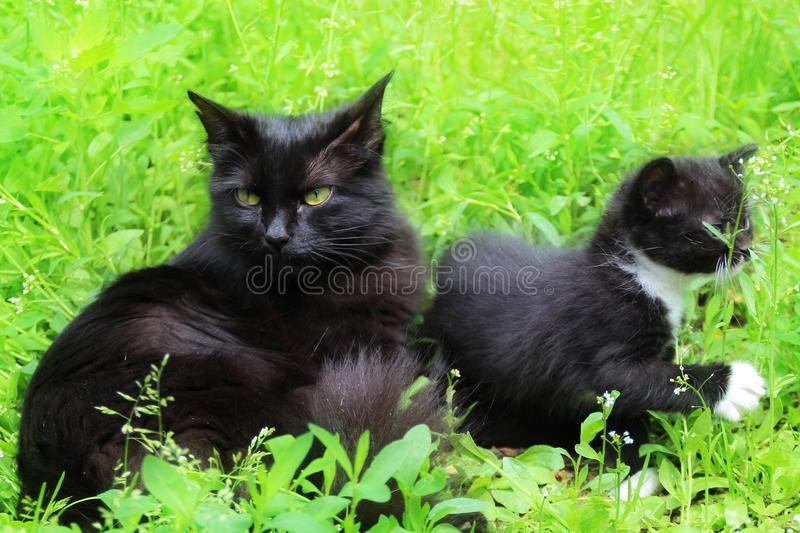 Mom cat with a kitten in the grass. Kitten the first time came out of the house alone royalty free stock photos